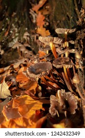 Clump of brown mushrooms found within old rotten Oak stump surrounded by Autumn leaf fall in portrait orientation.