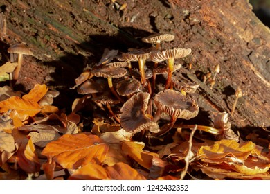 Clump of brown mushrooms found within old rotten Oak stump surrounded by Autumn leaf fall in landscape orientation.
