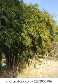 The clump of Buddha's Belly Bamboo, an ornamental plant for garden decoration and is believed to be a sacred plant when planted in the house, then it will encourage riches.
