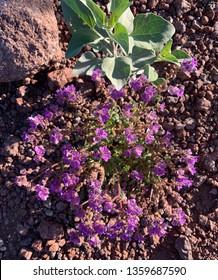 A clump of Cleftleaf Wildheliotrope (Phacelia crenulata) blooming in the Sonoran Desert in spring, Arizona.