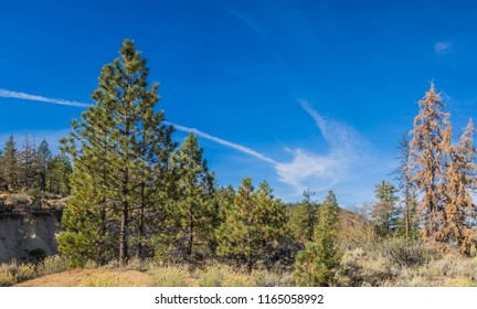 Clump of fat green pine trees on the top of hills and mountains.