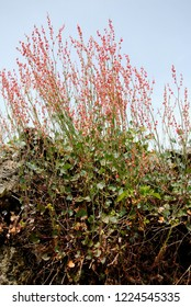 Clump of French or buckler or shield-leaf sorrel (Rumex scutatus) on a wall of lava stones in Sicily, Italy
