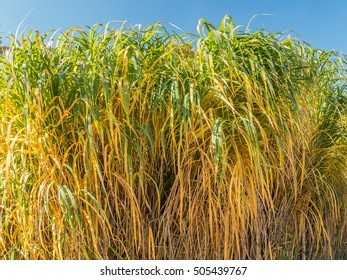 Clump of giant Miscanthus grass