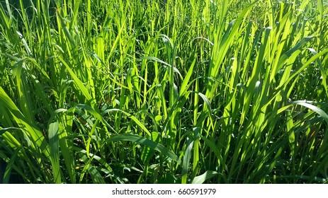 clump of grass
