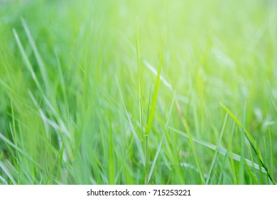 Clump of grass With sunlight background