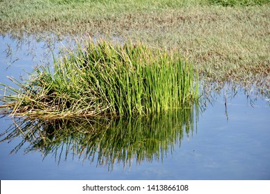 Clump of grass in the swamp