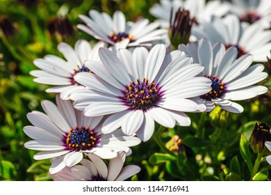 A clump of hardy African daisy, Osteospermum plants