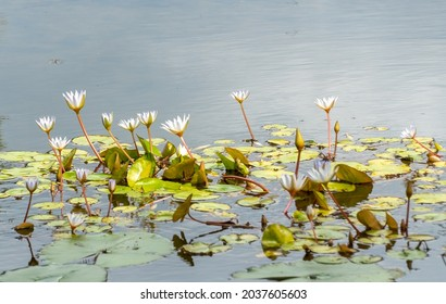 a clump of lotus flowers in the lake