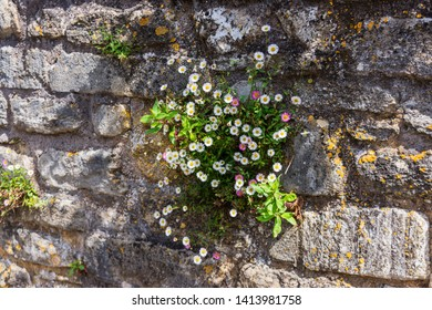 A clump of Mexican Fleabane (Erigeron karvinskianus) growing from an old stone wall