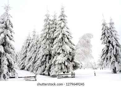 clump of pine trees covered with snow in a field