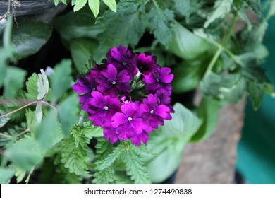 clump of purple flowers