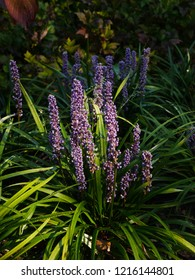 Clump of purple liriope muscari flowers and green grass-like foliage