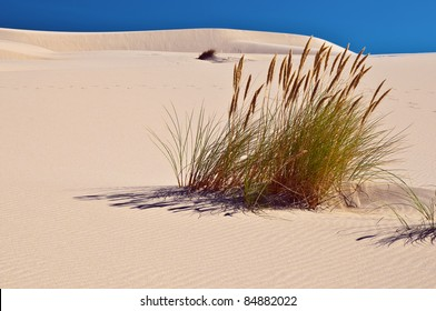 Clump of sand dune grass in Oregon along the coast