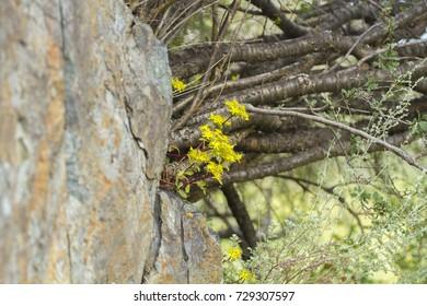 A clump of Sedum in the rock