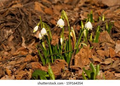 Clump of spring snowflakes - Leucojum vernum