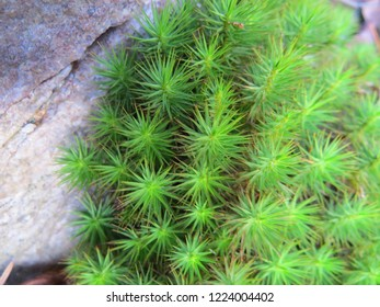 Clump of Star Moss against a rock  Bright green