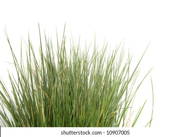 A clump of tall grass in the studio