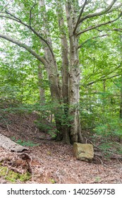 Clump of trees in Destruction Brook Woods