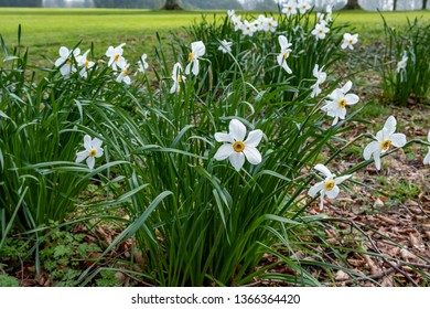 Clump of white narcissi with orange centres