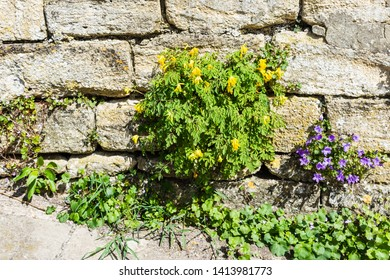 Clump of yellow corydalis Pseudofumaria lutea growing in a stone wall