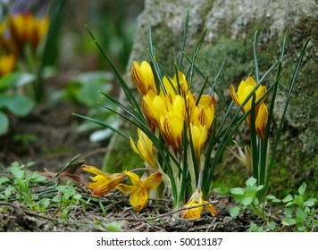 clump of yellow crocus flowers with rock