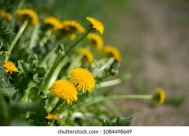 A clump of yellow dandelions growing at the edge of a path