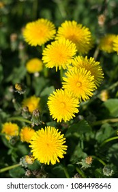 A clump of yellow dandelions growing on a pasture