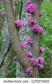 Clumps of eastern redbud flowers (Cercis canandensis) growing on trunks, displaying an unusual botanical trait called cauliflory.