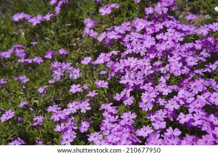 Clumps Perennial Pink Flowers Stock Photo Edit Now 210677950