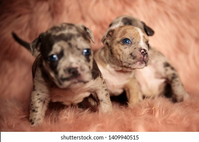 Clumsy American Bully puppies with blue eyes sitting and standing on pink furry background while curiously looking around
