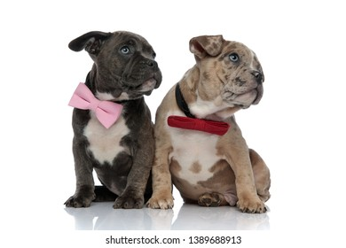 Clumsy Amstaff puppies staring to the side with their mouths closed and wearing bow ties while being seated on white studio background