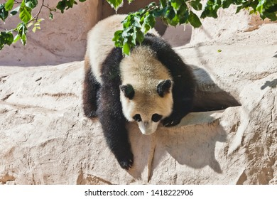 clumsy but cute big panda purposefully climbs the rock under the green foliage. Chinese panda in the Russian Moscow zoo.