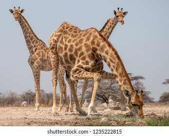 A clumsy and tall Giraffe is kneeling down for a drink from the waterhole, two younger giraffe in the background