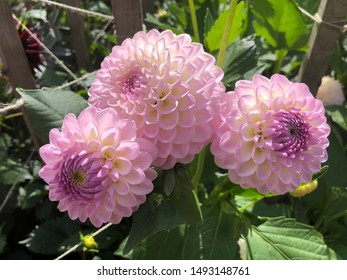 A cluster of 3 pink pom pom dahlias in the Dream Garden in Dunster, Somerset