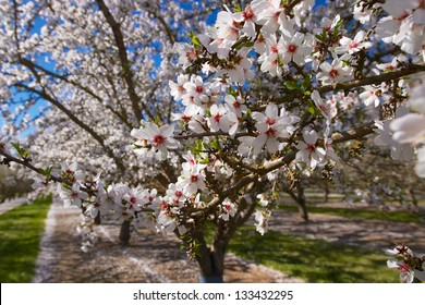 cluster of almond blossoms in full bloom