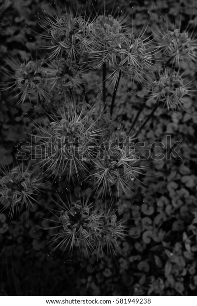Cluster amaryllis, blossoms of spider lily in a field (by black and white tone)