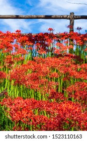 Cluster amaryllis and blue sky in Japan.