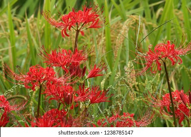 Cluster amaryllis (Close-up)