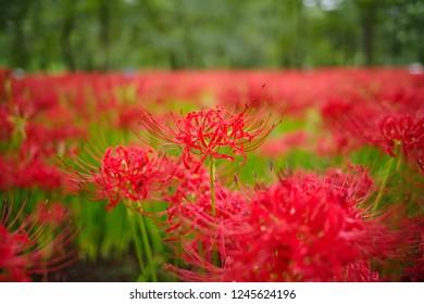 Cluster amaryllis (Higan-bana) - Shutterstock ID 1245624196