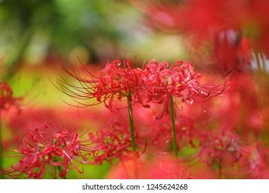 Cluster amaryllis (Higan-bana) - Shutterstock ID 1245624268