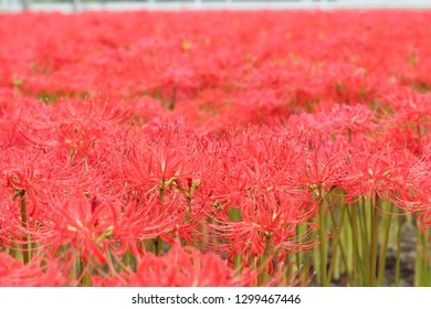 Cluster amaryllis in JAPAN