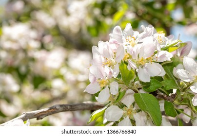 Cluster of apple flowers in spring sunlight