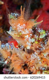 Cluster of ascidian Alor Indonesia