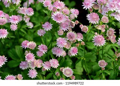 A cluster of Astrantia Buckland in flower