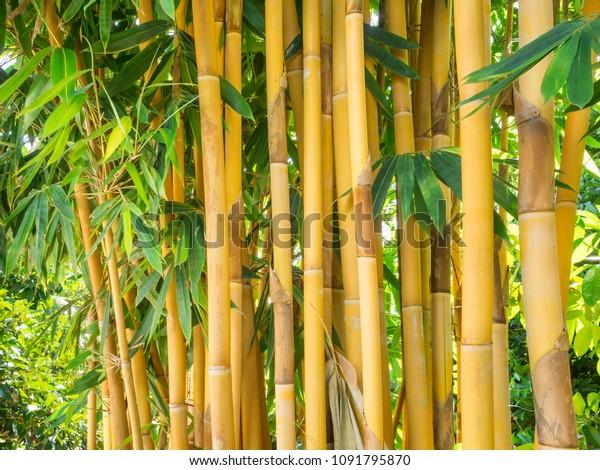 Cluster Bambusa Vulgaris Asian Bamboo Species Stock Photo Edit