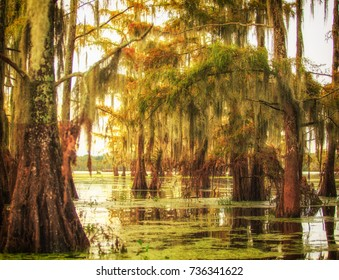 Cluster of Beautiful Cypress trees in swamp near sundown in Louisiana