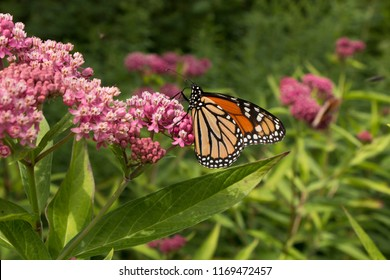 A cluster of beautiful milkweed flowers attract a beautiful monarch butterfly.