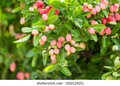 Cluster of bengal currants or Christ's Thorn, sweet and sour tropical fruit on tree