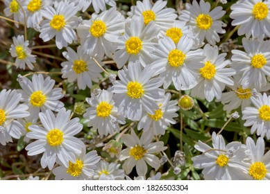 A cluster of Blackfoot Daisies native to Arizona. Botanical name is Melampodium Leucanthum.