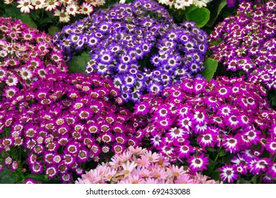 cluster of blue white purple cineraria flowers